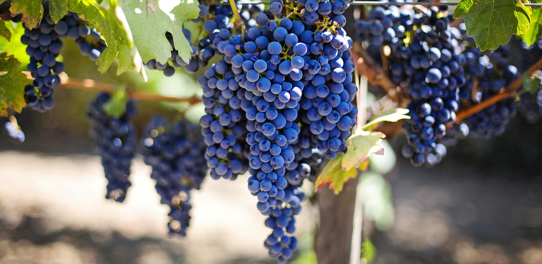Purple Grapes at a Vineyard