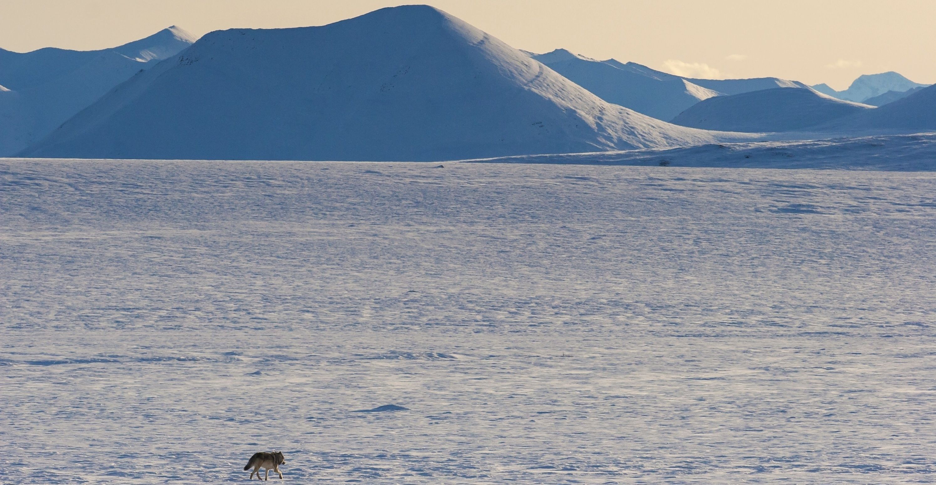 Barren Tundra with Wolf